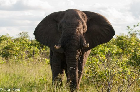 African Elephant daring us to come closer