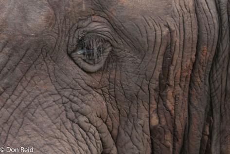 African Elephant - eyeing us