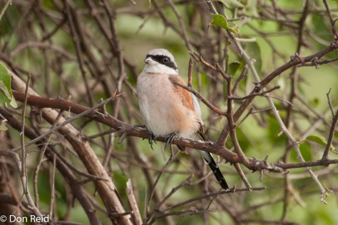Red-backed Shrike, Summer visitor to Southern Africa from Europe
