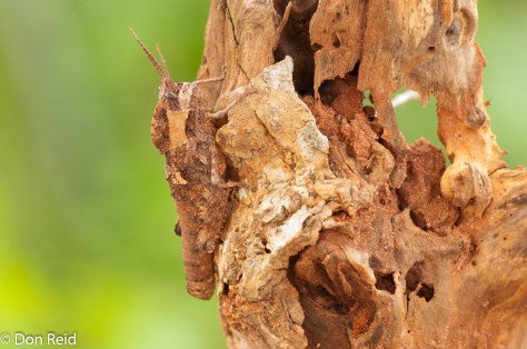 Locust - very well disguised (clue - it's on the left)