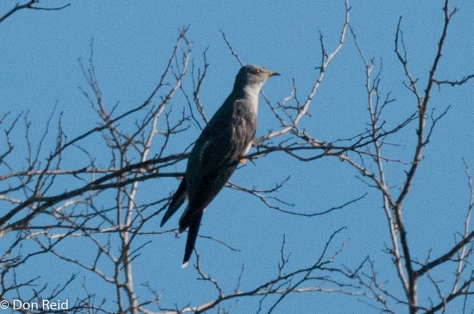 African Cuckoo. Another fuzzy photo - also taken from a distance