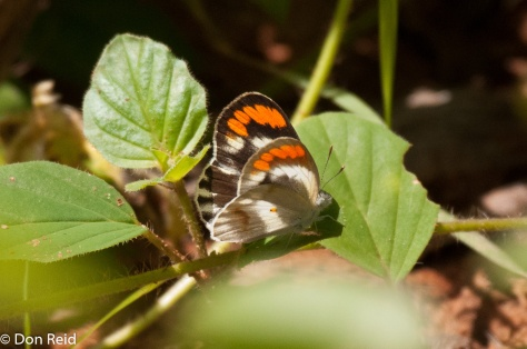 Red-tip female