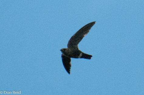 Mottled Spinetail. Not a great photo but they are very difficult to photograph, flying fast and turning unexpectedly