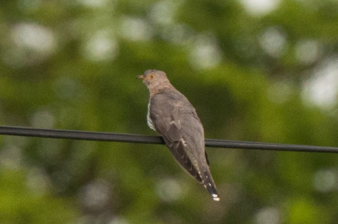 African Cuckoo, Catapu area