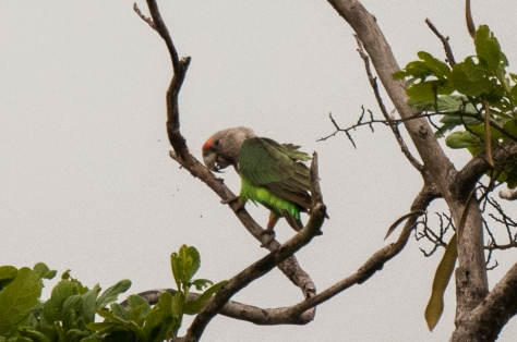 Grey-headed Parrot