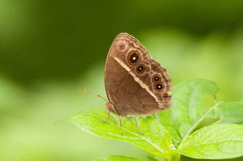 Butterfly : Eyed bush brown (henotesia perspicua), Catapu area