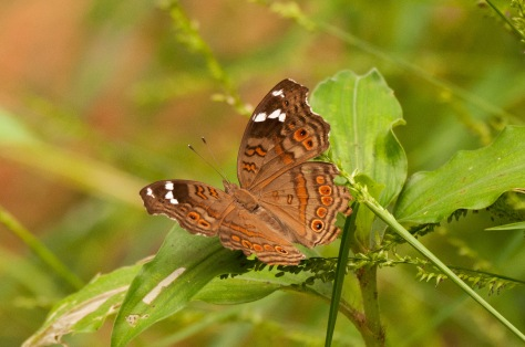 Butterfly : Brown Commodore (Junonia natalica natalica), Catapu area