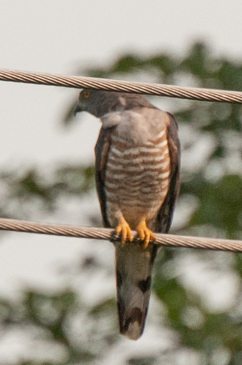 Cuckoo on a cable, Catapu area