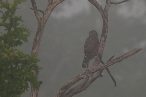 African Goshawk in the mist, Mphingwe