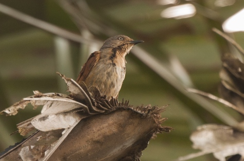 Collared Palm-Thrush