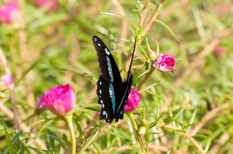Butterfly : Green-banded swallowtail / groenlintswaelstert (Princeps nireus lyaeus)