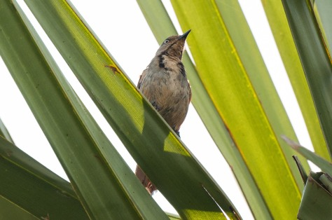 Collared Palm-Thrush, in palm grove on the Road to Sena