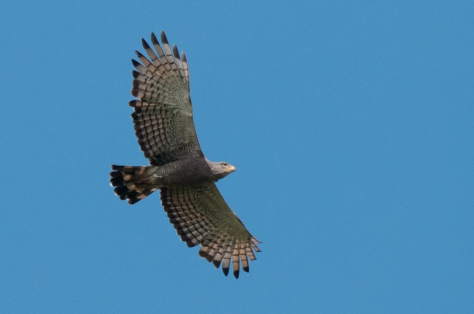 Southern Banded Snake-Eagle, Road to Sena