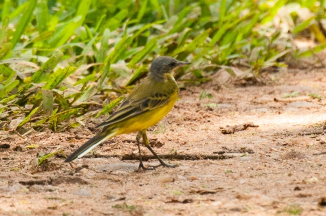 Yellow Wagtail (race Thunbergi)