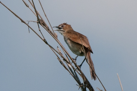 Moustached Grass Warbler, on the Road to Sena