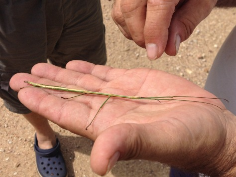 Stick insect, Gorongosa (males are usually smaller than females)