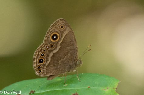 Eyed bush brown (henotesia perspicua)