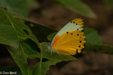 False dotted-border / valsvoelentwitjie (Belenois thysa thysa)