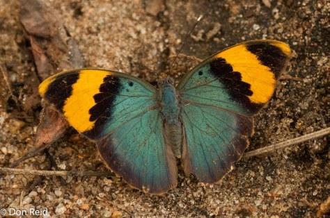 Gold-banded forester / skaduweedansertjie (Euphaedra neophron neophron)