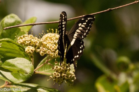 Green-banded swallowtail / groenlintswaelstert (Princeps nireus lyaeus)