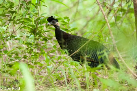 Crested Guineaufowl, Mphingwe camp