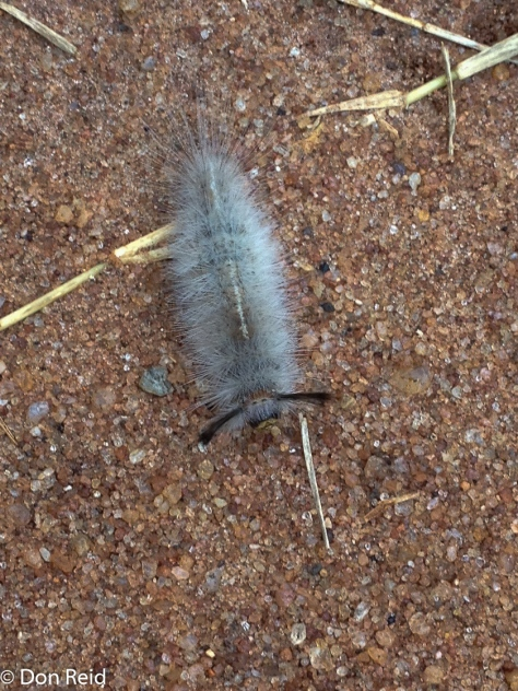 Furry little caterpillar, Mphingwe camp