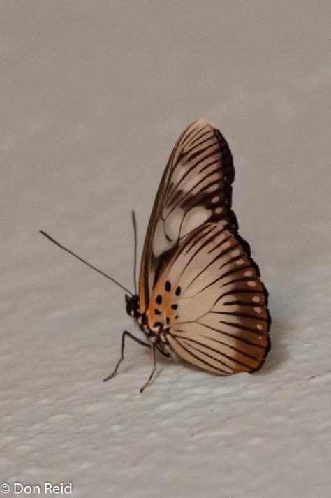False chief / bontvalsrooitjie (Pseudacraea lucretia tarquinia)
