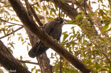Bat Hawk, Entabeni Forest