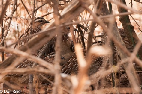 Crested Francolin (only just)