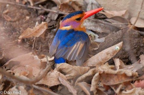 Pygmy Kingfisher, Punda Maria camp