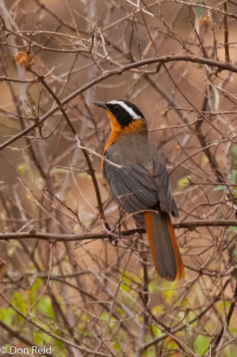 White-browed Robin-Chat, Punda Maria