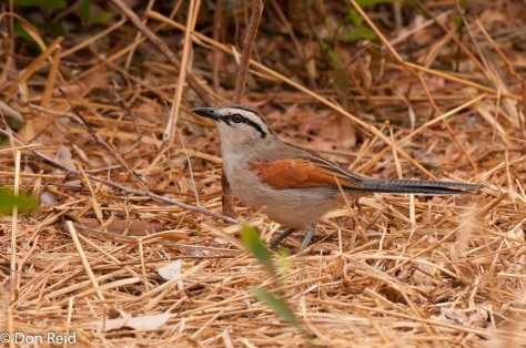 Brown-crowned Tchagra, Punda Maria