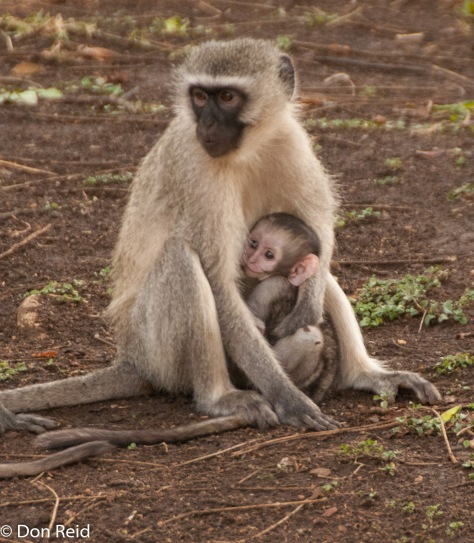 Vervet Monkey, Punda Maria camp