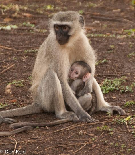 Vervet Monkey, Punda Maria camp