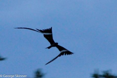 Pennant-winged Nightjar (Photo : George Skinner)