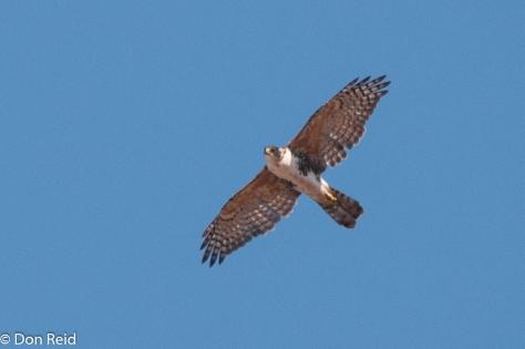 Lanner Falcon, La Lucia
