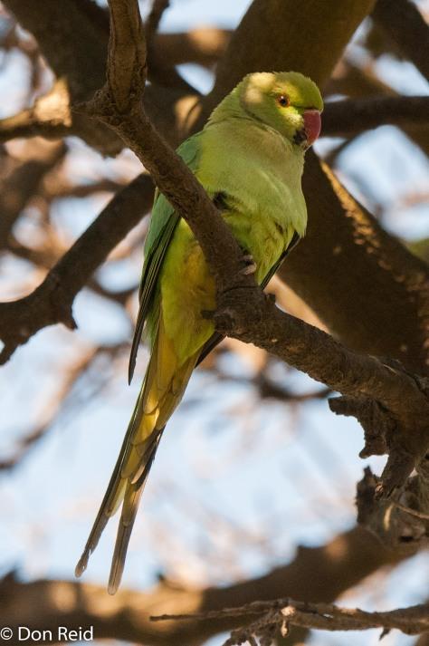 Rose-ringed Parakeet, La Lucia