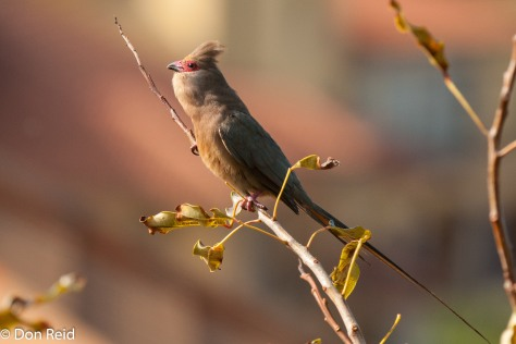 Red-faced Mousebird (calling)