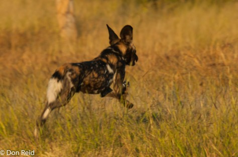Wild Dog dashing across the road