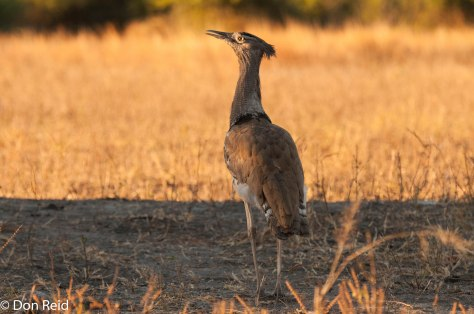 Kori Bustard, said to be the heaviest flying bird in the world (5,5kg)
