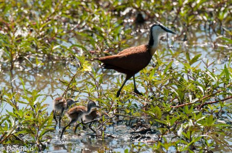 African Jacana with little ones