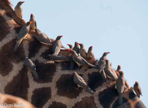 Red-billed and Yellow-billed Oxpeckers taking a ride