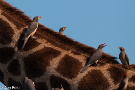Red-billed and Yellow-billed Oxpeckers