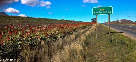 Aloes along the Ashton-Swellendam road
