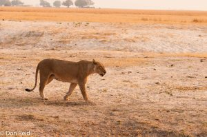 African Lion, Chobe Game Reserve