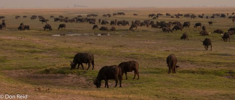 African Buffalo on Lechwe Plain, Chobe Game Reserve