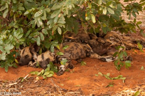 African Wild Dog, Kasane area