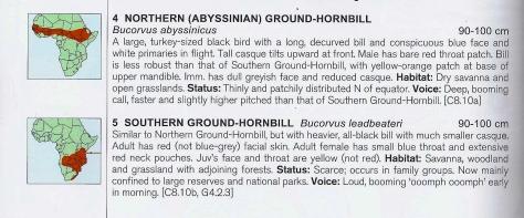 Ground Hornbill-15