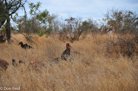 Southern Ground-Hornbill, Tamboti KNP