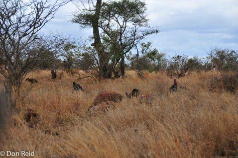 Southern Ground-Hornbill, Tamboti KNP